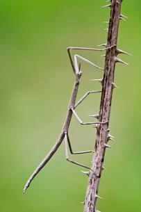 French Stick Insect (Clonopsis gallica), Castello diの写真素材 [FYI02341163]