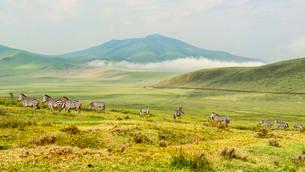 Zebra herd, Plains Zebras (Equus quagga), in the landscapeの写真素材 [FYI02341180]