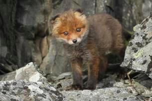 Red fox (Vulpes vulpes), cub between rocks, tundra, coastalの写真素材 [FYI02341206]