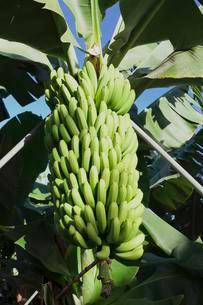 Canary banana (Musa sp.), Banana tree in a plantation nearの写真素材 [FYI02341217]
