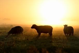 Domestic sheep (Ovis aries gmelini) in mist at sunriseの写真素材 [FYI02341221]