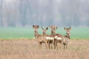 Deer (Capreolus capreolus) looking back, field sceneryの写真素材 [FYI02341224]