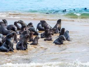 Brown fur seals (Arctocephalus pusillus), colony onの写真素材 [FYI02341228]