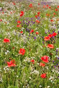 Meadow with wildflowers, El Hierro, Canary Islands, Spainの写真素材 [FYI02341231]