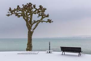 Plane tree (Platanus) with bench on the promenade, view ofの写真素材 [FYI02341257]