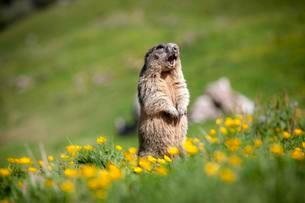 Alpine Marmot (Marmota marmota), Rotwand areaの写真素材 [FYI02341262]