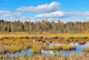 Moorland pond with lakeshore bulrushes (Schoenoplactusの写真素材 [FYI02341301]