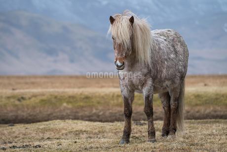Icelandic horse, Vik, Iceland, Europeの写真素材 [FYI02341316]