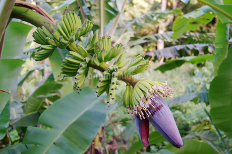 Banana inflorescence, partially opened and young fruitsの写真素材 [FYI02341373]