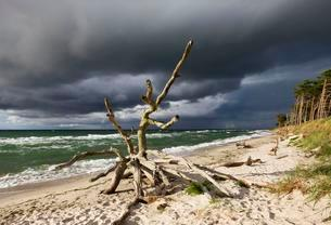 Dead tree on the west beach at the Baltic Sea, dark cloudsの写真素材 [FYI02341385]