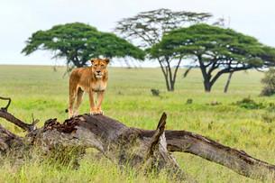 Lion (Panthera leo) on rotten tree, Serengeti, Tanzaniaの写真素材 [FYI02341393]