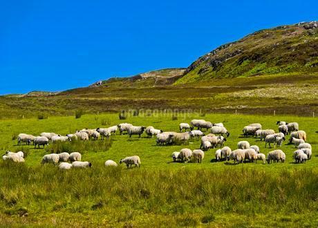 Scottish Blackface, flock of sheep in pasture, Scottishの写真素材 [FYI02341409]