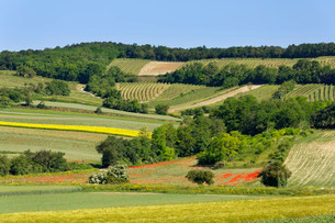 Landscape of fields and vineyard, Hochberg and Leiser Waldの写真素材 [FYI02341413]