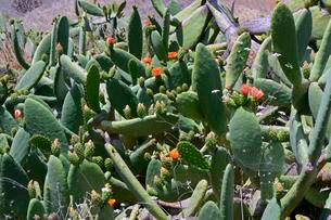 Prickly pear (Opuntia sp.), flowers, Tenerife, Canaryの写真素材 [FYI02341415]