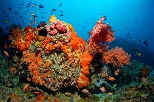 Coral colony, fish, invertebrates, stony coral, soft coralの写真素材 [FYI02341416]
