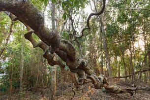 Spiral roots of a tropical tree, jungle, rainforest atの写真素材 [FYI02341429]