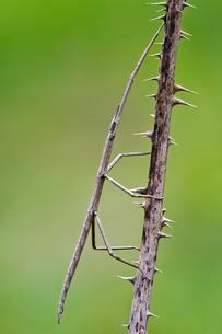 French Stick Insect (Clonopsis gallica), Castello diの写真素材 [FYI02341431]