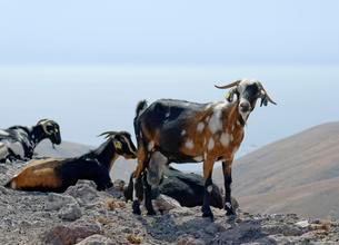 Goats at Barranco la Huguera, Femes, Lanzarote, Canaryの写真素材 [FYI02341432]