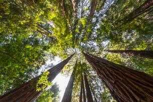 Coast redwoods (Sequoia sempervirens), tree canopy, Muirの写真素材 [FYI02341440]