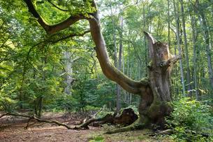 Old gnarled beech (Fagus sylvatica), DarBwald, DarBwaldの写真素材 [FYI02341451]