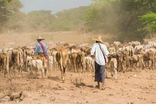 Cattle drovers, farmers with cow herd, Bagan, Mandalayの写真素材 [FYI02341466]