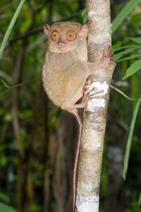 Philippine Tarsier (Carlito syrichta), Bohol Islandの写真素材 [FYI02341468]