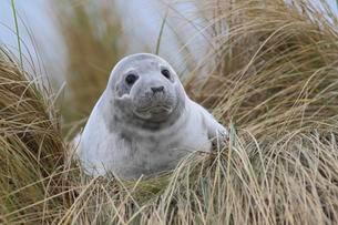 Harbour seal (Phoca vitulina) adult, on beach duneの写真素材 [FYI02341479]