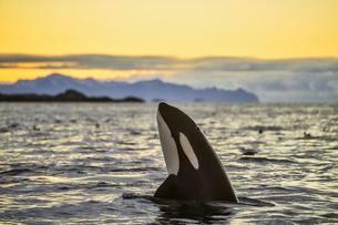 Orca (Orcinus orca) looking out of the water, Spyhoppingの写真素材 [FYI02341482]
