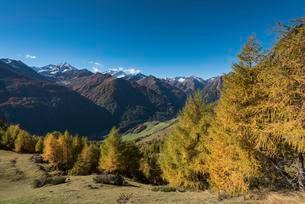 Yellowed European larches (Larix decidua), autumnalの写真素材 [FYI02341493]