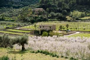 Blooming almond trees (Prunus dulcis), plantation nearの写真素材 [FYI02341545]