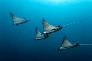 Mobulas (Mobula), Indian Ocean, Maldives, Asiaの写真素材 [FYI02341547]