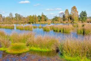 Moor pond with lakeshore bulrushes (Schoenoplectusの写真素材 [FYI02341561]