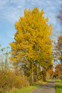 Aspen trees (Populus tremula) with autumnal foliage, at aの写真素材 [FYI02341567]