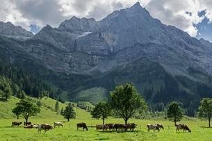 Cows between maple trees, Ahornboden, Eng Alm, Lamsenspitzeの写真素材 [FYI02341574]