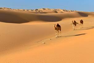 Dromedaries (Camelus dromedarius) walking in the sanddunesの写真素材 [FYI02341582]