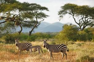 Plains Zebras (Equus quagga), acacias in the back, Tsavoの写真素材 [FYI02341591]
