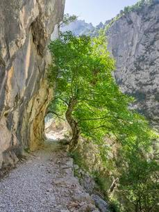 Hiking path through the Cares Gorge, Picos de Europaの写真素材 [FYI02341596]