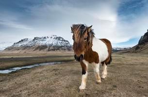 Icelandic horse (Equus przewalskii f. caballus) againstの写真素材 [FYI02341638]