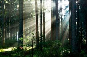 Rays of sunlight shining through trees in fog, spruceの写真素材 [FYI02341669]