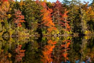 Mixed forest, autumn colors, trees reflected in lakeの写真素材 [FYI02341681]