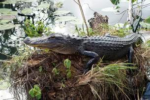 Alligator (Alligator mississippiensis), Everglades Nationalの写真素材 [FYI02341730]
