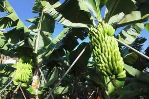 Canary banana (Musa sp.), Banana tree in a plantation nearの写真素材 [FYI02341741]