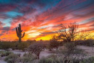 Desert landscape with saguaro cactus (Saguaro) at sunsetの写真素材 [FYI02341811]
