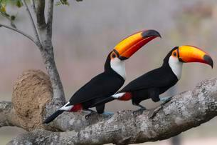 Couple of Toco Toucan (Ramphastos toco) on tree, Pantanalの写真素材 [FYI02341812]