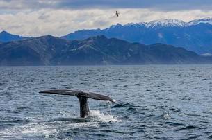 Fluke of Sperm whale diving, Kaikoura, South Island, Newの写真素材 [FYI02341840]