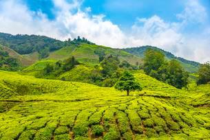 Tea plantations, Cameron Highlands, Tanah Tinggi Cameronの写真素材 [FYI02341867]
