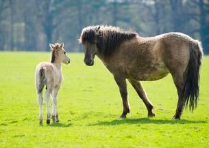 Tarpan (Equus ferus gmelini, Equus gmelini), breeding backの写真素材 [FYI02341868]