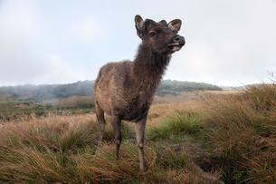 Sambar deer (Cervus unicolor), female, Horton Plainsの写真素材 [FYI02341873]