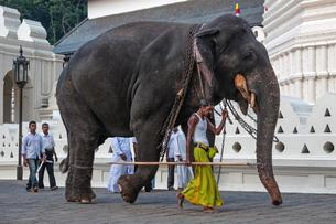 Indian elephant (Elephas maximus) working with mahoutの写真素材 [FYI02341876]