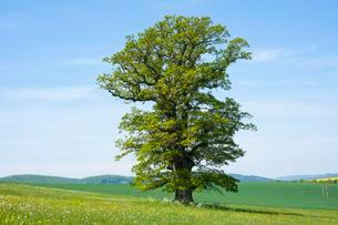 Old English oak (Quercus robur), solitary tree, Thuringiaの写真素材 [FYI02341932]